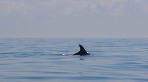 Дельфин ребра в море Стоковые Изображения