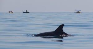 Дельфин ребра в море Стоковые Фотографии RF