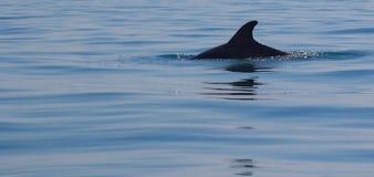 Дельфин ребра в море Стоковые Изображения RF