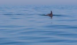 Дельфин ребра в море Стоковая Фотография RF