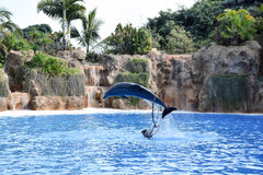 Дельфин скача во время выставки парка Стоковая Фотография RF