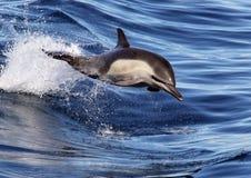 Дельфин Тихий Океан общий ехать волны Стоковое Изображение