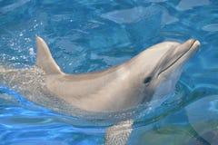Дельфин Bottlenose Стоковое фото RF