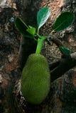 Джекфруты на дереве Стоковое фото RF