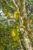 Джекфруты на дереве Стоковое Изображение RF