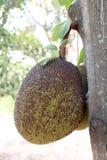 Джекфрут, малый джекфрут на дереве джекфрута Стоковые Изображения