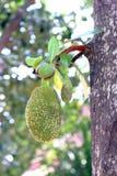 Джекфрут, малый джекфрут на дереве джекфрута Стоковые Фотографии RF
