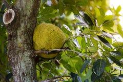 Джекфрут на дереве с зелеными листьями Стоковые Изображения RF