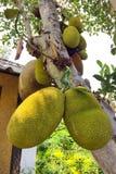 Джекфрут на дереве джекфрута Стоковые Изображения RF