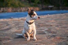 Джек Рассел наблюдая заход солнца Стоковое Фото