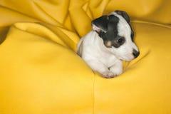 Джек Рассел отдыхая в pouf Стоковое Изображение