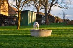 Джек Russel в саде стоковое фото rf