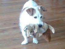 Джек russel принимает его игрушку Стоковые Фото