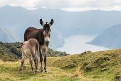Дженни при маленький осел подавая на молоке над озером Como в Италии Стоковые Изображения RF