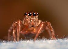 Джинсы паука Стоковое Изображение