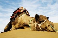Джонни самый милый верблюд Верблюд в пустыне Thar, Раджастхан дромадера, Индия Стоковые Изображения