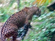 джунгли ягуара Стоковые Изображения RF