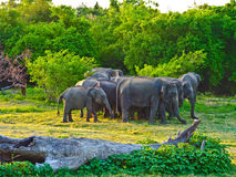 джунгли elefants одичалые Стоковая Фотография RF