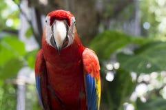 Джунглей дерева попугая ары живая природа красных экзотическая Стоковая Фотография