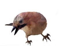 Джэй в конце plumage зимы вверх стоковые изображения