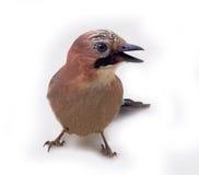 Джэй в конце plumage зимы вверх стоковое изображение rf