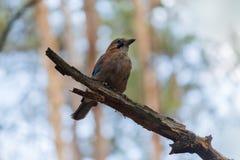 Джэй сидит на ветви в парке Стоковые Фото