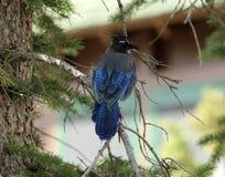 Джэй Steller на конце-Вверх ветви дерева Стоковые Фотографии RF