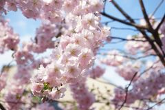 Дзенbeautiful pink cherry blossoms on a background of blue bright sky. Beautiful pink cherry blossoms background blue bright sky royalty free stock photos