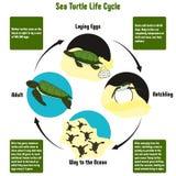 Диаграмма жизненного цикла морской черепахи стоковая фотография