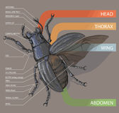 Диаграмма жука консультационо Реалистическое illustrati вектора Стоковое Изображение