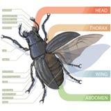 Диаграмма жука консультационо Реалистическое illustrati вектора Стоковые Изображения