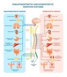Диаграмма иллюстрации вектора человеческой нервной системы медицинская с парасимпатическими и участливыми нервами и соединенными  бесплатная иллюстрация