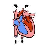 Диаграмма сердца Стоковое фото RF