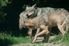 Диапазон волка тимберса Стоковые Изображения RF