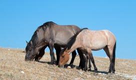 Диапазон диких лошадей пася на Sykes Ридже в ряде дикой лошади гор Pryor в Монтане - США Стоковое Изображение RF