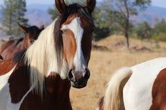 Диапазон одичалых американских лошадей мустанга красит пегие лошадей Стоковые Изображения