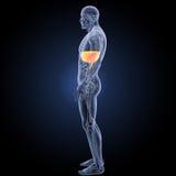 Диафрагма с взглядом боковой части анатомии бесплатная иллюстрация