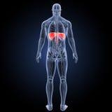 Диафрагма с взглядом зада анатомии бесплатная иллюстрация