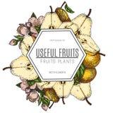 Дизайн вектора груши нарисованной рукой Винтажная иллюстрация стиля эскиза Органическая еда eco Все, отрезанные части половинные, бесплатная иллюстрация