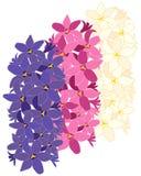 Дизайн гиацинта Стоковое фото RF