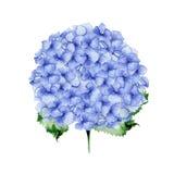 Дизайн голубой гортензии акварели флористический Стоковое Изображение RF