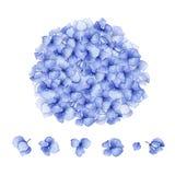 Дизайн голубой гортензии акварели флористический Стоковое Изображение
