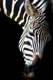 Дизайн зебры Стоковые Изображения