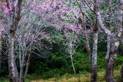Дикая гималайская вишня Таиланд стоковое изображение rf