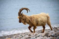 Дикая коза горы в прибрежном районе северного Уэльса, Великобритании Стоковая Фотография RF