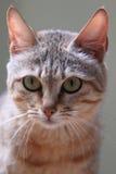 Дикая кошка Гордона Стоковое фото RF