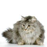 дикая кошка Стоковая Фотография