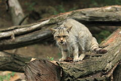 Дикая кошка Стоковая Фотография RF