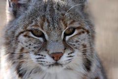 дикая кошка Стоковые Фотографии RF