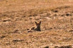 Дикая красная лиса идя на луг ища еда стоковые изображения